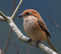 Shrike Bird