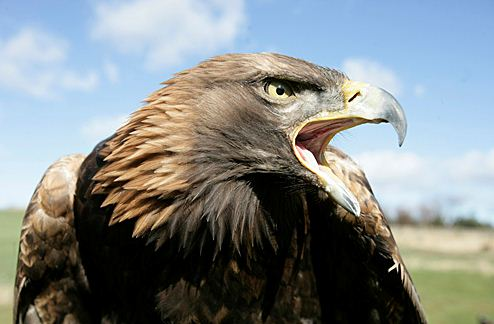 golden eagle adult