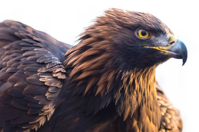 Golden Eagle Facts