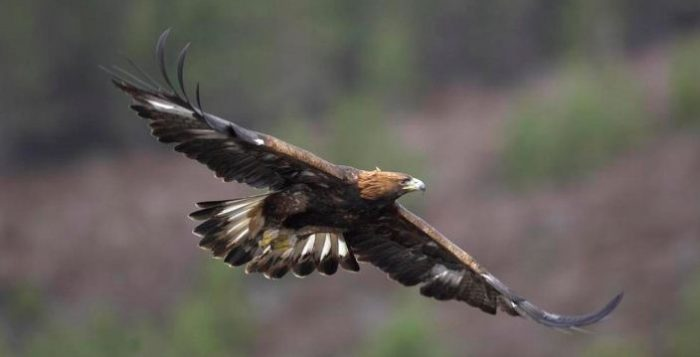 Golden Eagle Speed