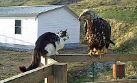 eagle attack cat