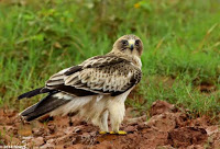 booted eagle, How Many Big Species Of Eagles Are There Should We Know