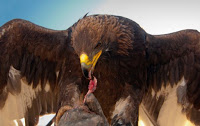 golden eagle How Many Big Species Of Eagles Are There Should We Know