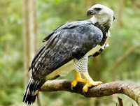 harpy eagle, How Many Big Species Of Eagles Are There Should We Know