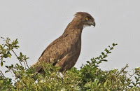 snake eagle How Many Big Species Of Eagles Are There Should We Know