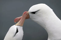 Albatross Smell