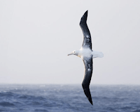 Albatross wingspan