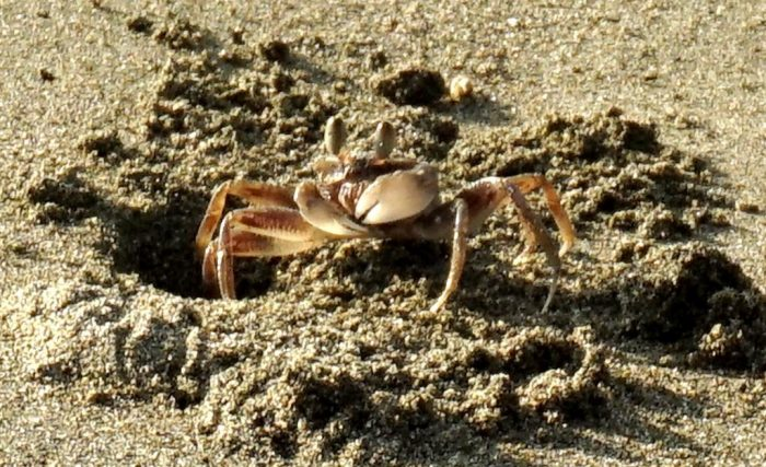 Crab on Nest
