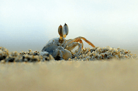 crab is digging sand