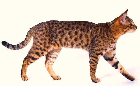 California Spangled Cat