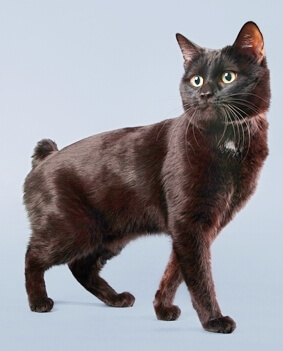 black Manx breed