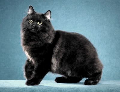 Black manx cat