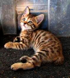 Manx Cat Kitten