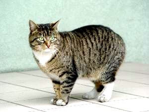 manx cat price