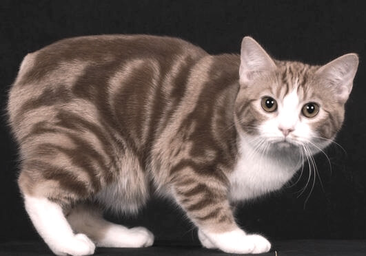 manx cat quick information