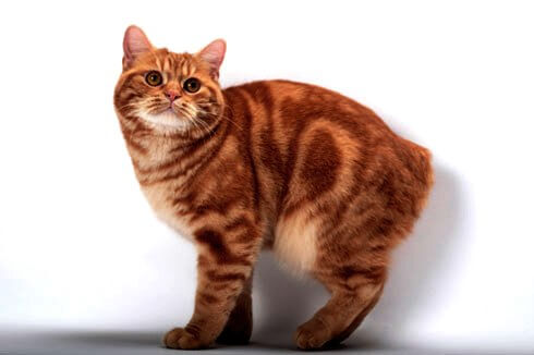 Manx cat images