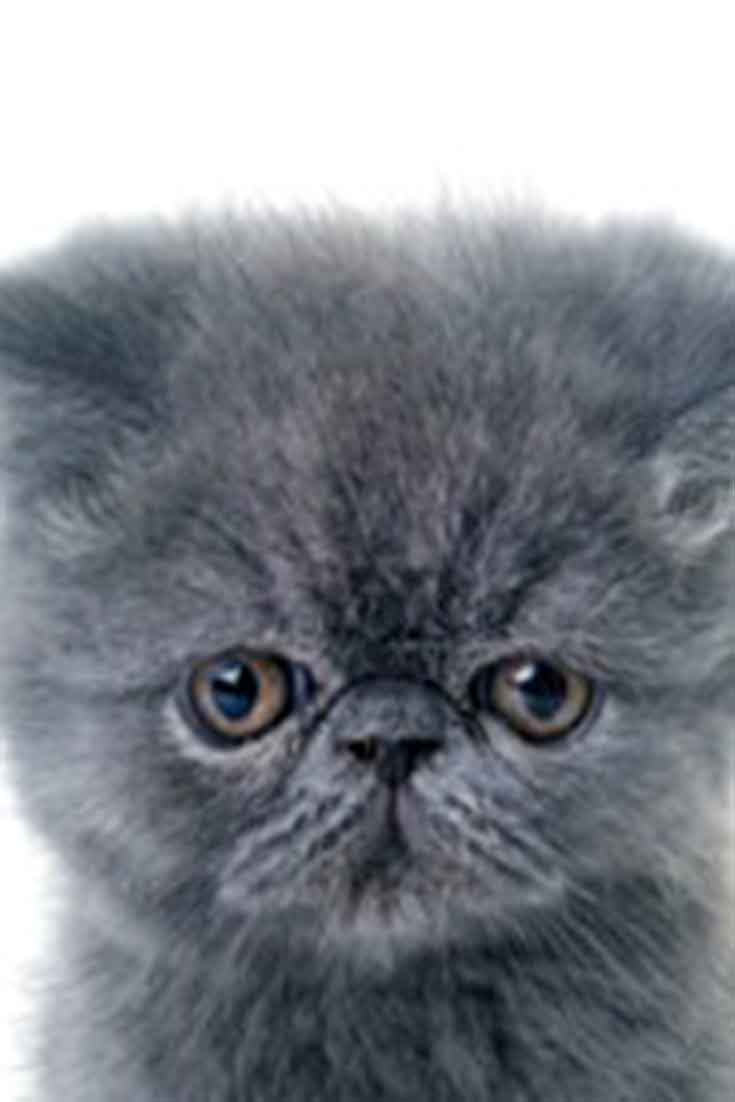 maine coon kitten images