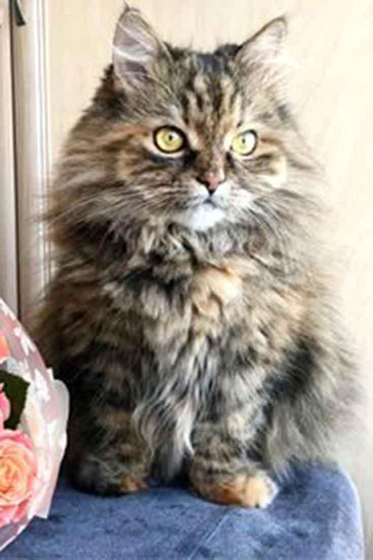 Siberian-Forest-CatSiberian-Forest-Cat