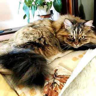 Siberian-Forest-Cat