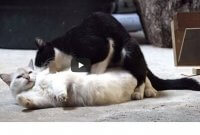 cat mating