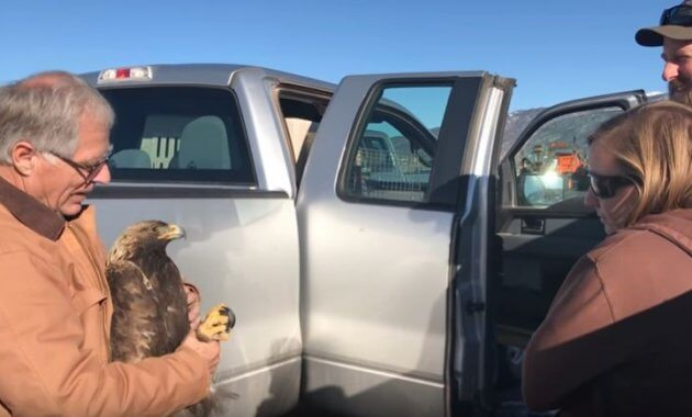 Golden Eagle rescue