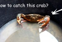 how to catch mud crab on the beach